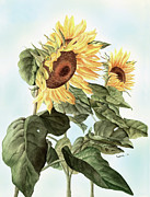 Sunflowers Print by Leona Jones