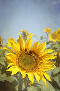 Yello Prints - Sunflowers Print by Neil Overy