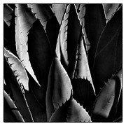 Monotone Prints - Sunlit Cactus Print by David Patterson