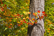 Colored Bark Posters - Sunlit Maple Leaves in Autumn Poster by Louise Heusinkveld