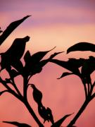 Black Rose Prints - Sunset Silhouette Print by Rose  Hill
