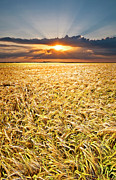 Rays Prints - Sunset Wheat Print by Meirion Matthias