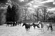 White Horse  Framed Prints - Surreal Horses Black White Landscape Print by Kathy Fornal