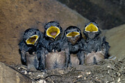 Quartet Prints - Swallow Chicks Print by Georgette Douwma
