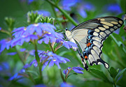 Swallow Photo Metal Prints - Swallow Tail Metal Print by Linda Pulvermacher
