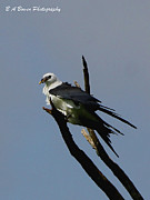 Birdwatching Originals - Swallow tailed kite eating by Barbara Bowen