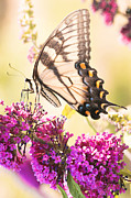 Kim Fearheiley Photography Framed Prints - Swallowtail Butterfly Framed Print by Kim Fearheiley