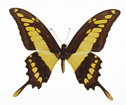 Papilio Thoas Posters - Swallowtail Butterfly Poster by Lawrence Lawry