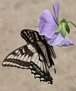 Swallowtail Prints - Swallowtail Print by Liz Vernand