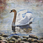 Lake Framed Prints - Swan Framed Print by Joana Kruse