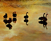 Black Swans Framed Prints - Swanning It Framed Print by Linde Townsend
