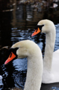 Mute Swan Framed Prints - Swans Framed Print by Michael Mogensen