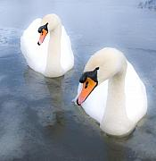 Frozen Lake Photos - Swans by Svetlana Sewell