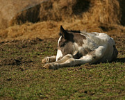 Tinker Horse Art - Sweet Dreams by Szalonaisa Photography