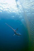 Murcia Photos - Swordfish Swimming In A Fishing Net by Angel Fitor