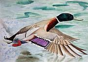 Waterfowl Drawings Framed Prints - Takin Off Framed Print by Jimmy Smith