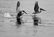 Flying White Pelicans Posters - Taking Off in black and white Poster by Suzanne Gaff