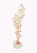 Botanica Art - Tall Sundew by Scott Bennett