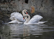 Tango Photos - Tango of the swans by Joachim G Pinkawa