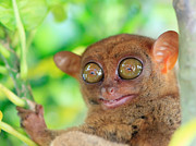 Alien Eyes Photos - Tarsier by MotHaiBaPhoto Prints