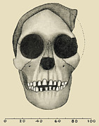 Frontal Bones Posters - Taung Child Skull Poster by Sheila Terry