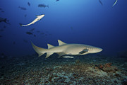 Sharks Photo Posters - Tawny Nurse Shark Swims Away Poster by Terry Moore