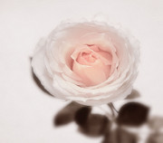 Roses Photos - Tender by Kristin Kreet
