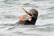 Sea Lion Photos - The Battle Begins by Fraida Gutovich