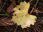 Grape Leaf Prints - The Beginning of Fall Print by Warren Thompson