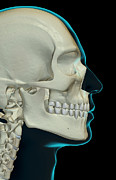 Human Head Art - The Bones Of The Head And Face by MedicalRF.com