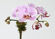 Pink Flower Branch Prints - The Branch Of A Flowering Orchid Print by Nicholas Eveleigh