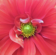 Gwyn Newcombe Metal Prints - The Dahlia Metal Print by Gwyn Newcombe