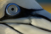 Seabirds Metal Prints - The eye of a Northern Gannet Metal Print by Sami Sarkis