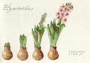 Hyacinth Painting Framed Prints - The growth of a hyacinth Framed Print by Annemeet Van der Leij
