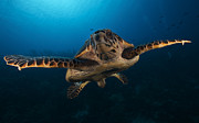 Floating In Water Prints - The Hawksbill Sea Turtle, Bonaire Print by Terry Moore