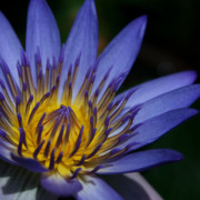 Floral Photos Photos - The Lotus Flower by Sharon Mau