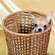 Chihuahua Framed Prints - The Smallest Breed Of Dog Framed Print by MotHaiBaPhoto Prints