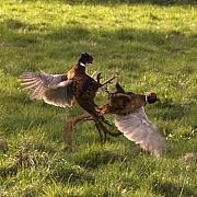 Pheasant Metal Prints - The Sparring Metal Print by Angel  Tarantella