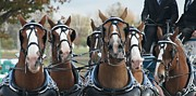 Belgian Draft Horse Photos - The Team by Alison Dedrick