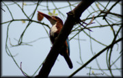 Inhale Glass Art - The White-throated Kingfishers by Wildlife Photgrapher Snehashish Pal