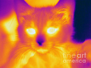 Felis Domesticus Framed Prints - Thermogram Of A Cat Framed Print by Ted Kinsman