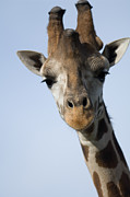 Thompsons Giraffe Giraffa Camelopardalis Print by Joel Sartore