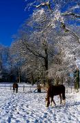Farm Buildings Prints - Thoroughbred Horses, Mares In Snow Print by The Irish Image Collection 