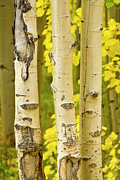 Fall Photographs Posters - Three Autumn Aspens Poster by James Bo Insogna