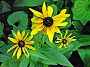 Black Eyed Susans Framed Prints - Three Susans Framed Print by Sarah Loft