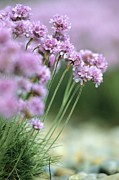 Chesil Beach Prints - Thrift (armeria Maritima) Print by Adrian Bicker