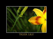Flowerbud Framed Prints - Tiger Lily Framed Print by David Weeks