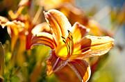 Tiger Lily Flower Print by Elena Elisseeva