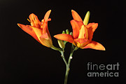 Flora Photo Posters - Tiger Lily Flower Opening Part Poster by Ted Kinsman