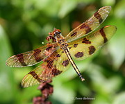Anne Babineau Metal Prints - Tiger-striped Dragonfly Metal Print by Anne Babineau